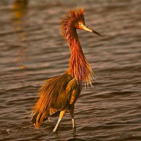 { Bad Hair Day }  by Jeffrey Lee - Animals Birds ( heron in water, heron, red heron,  )