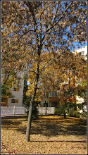 Photo: Artar - Paltin de munte (Acer pseudoplatanus) - din Turda, de pe Calea Victoriei - 2018.10.16