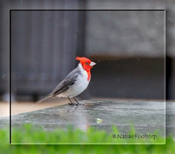 Photo: Red-Crested Cardinal - Paroaria coronata  © NF Photo 130813, Honolulu http://nfbirdworld.blogspot.se/2014/03/red-crested-cardinal-paroaria-coronata.html