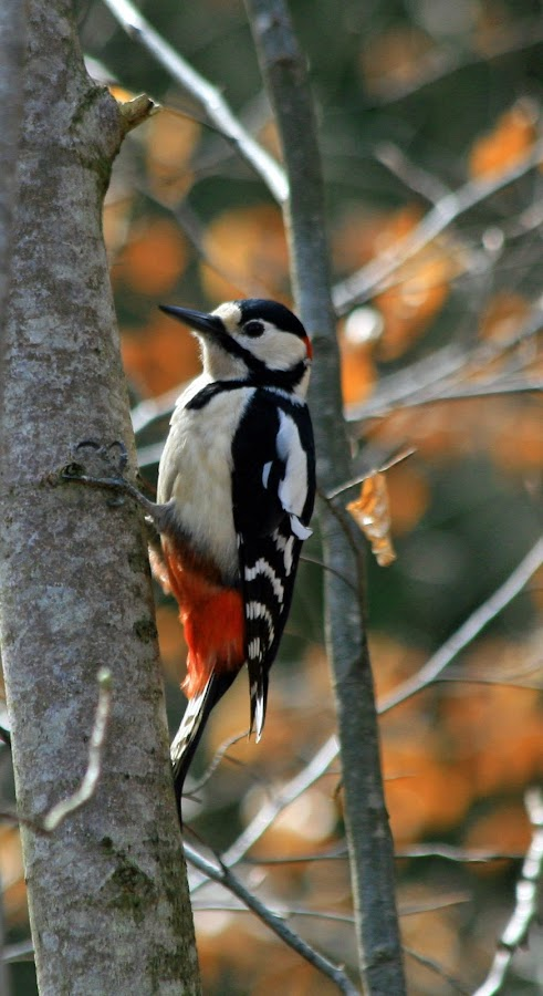 Great Spotted Woodpecker by Anca Dogaru - Animals Birds