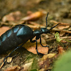 European oil beetle