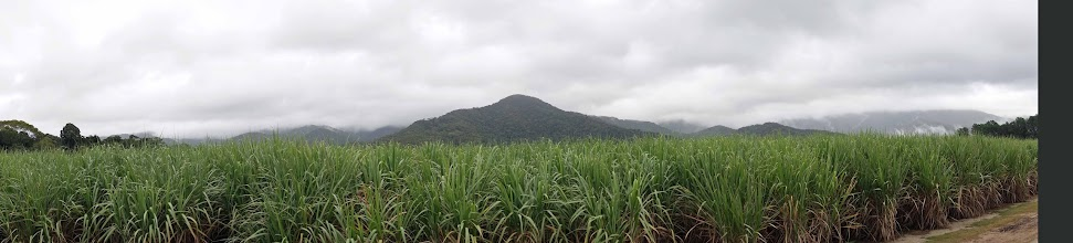 Photo: Sugarcane fields on a misty morning.