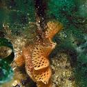 Reteporella grimaldii Bryozoan