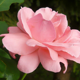 Pink by Helena Moravusova - Flowers Single Flower ( pink, nature, rose, flower )