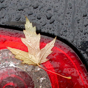 Fall by Natalie Ax - Nature Up Close Leaves & Grasses ( rain, close up, auto, rain drops, yellow, black, leaf, red, automobile, drops, fall, car, stuck, season, details, autumn, headlight )