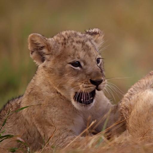 Playful lion cubs