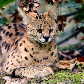 Serval by Gérard CHATENET - Animals Lions, Tigers & Big Cats