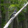 Belted Kingfisher ♂