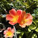 Vietnam Rose