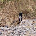 Spotess Starling; Estornino Negro