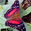 Scarlet peacock_male