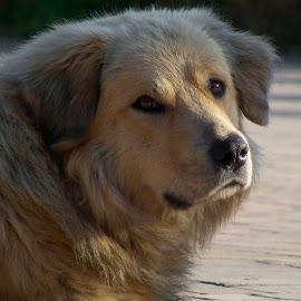 by Nicolaie Subotin - Animals - Dogs Portraits