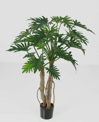 Philodendrun Selloum - 92cm & 122cm