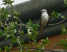 Photo: Scissor-tailed Flycatcher, upper Texas Coast