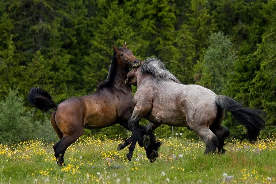 Stallions  by Marie Gillander - Animals Horses
