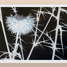 Polarised teazle by Annie Cator - Nature Up Close Trees & Bushes ( grasses, thistle, black and white, thistles, close up )