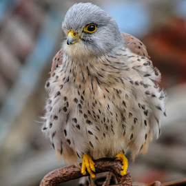Kestrel by Garry Chisholm - Animals Birds ( bird, garry chisholm, nature, wildlife, prey, raptor )