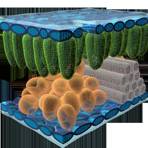 Epidermal Cell Tissue 3D