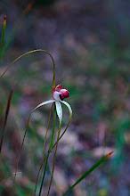 Photo: Caladenia excelsa