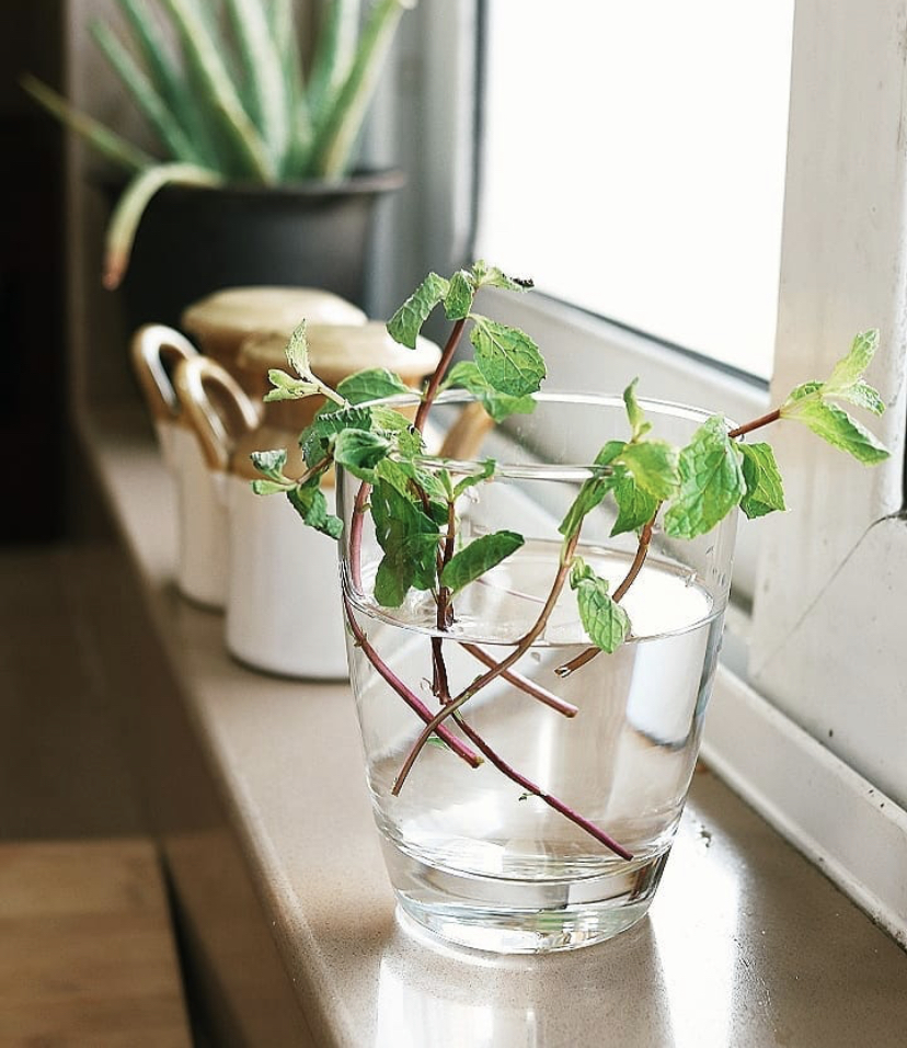 Mint is a great plant to start off with for your indoor garden.