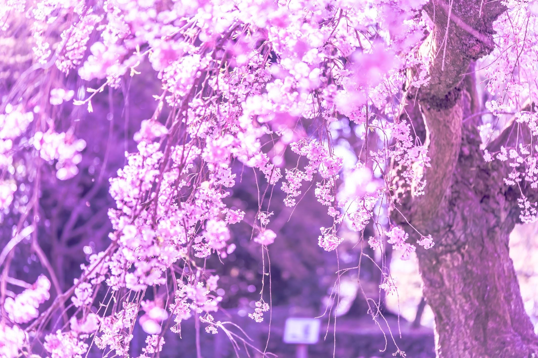 Kyoto gyoen Konoe Mansion site cherry blossoms3