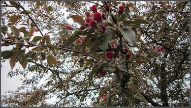 Photo: Măr decorativ (Malus Royalti) - de pe Calea Victoriei, din Parcul Bisericii - 2017.04.04