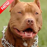 Download Pitbull Wallpaper 2020 Hd Pitbull Dog Background Free For Android Pitbull Wallpaper 2020 Hd Pitbull Dog Background Apk Download Steprimo Com
