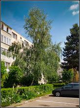 Photo: Mesteacăn (Betula) - de pe Calea Victoriei, Nr.17,19 - fotografie dedicata lui Edith Klaubert - 2017.06.07