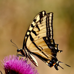 Swallowtail by Lyn Simuns - Animals Insects & Spiders ( butterfly, insect )