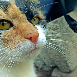 by Pedrosa Dani - Animals - Cats Portraits (  )