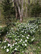 Photo: We thought two years this area of the North Country Trail was rich with trilliums but this year is impressive.