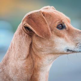 Nice look by Noureddine Belfethi - Animals - Dogs Portraits ( sharp, ear, prtrait, dog, eye,  )