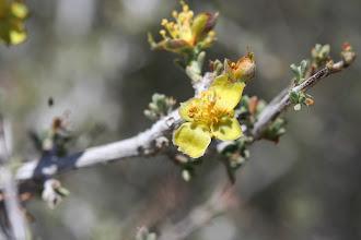 Photo: Coleogyne ramosissima