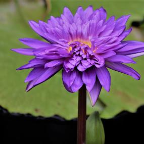 Purple Water Lily by Roxanne Dean - Flowers Single Flower ( purple, lilypond, garden, water, flower,  )