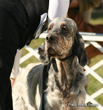 "Photo: STARLET AFTER EIGHT OF SAINT-MARTIN ""Bruce""   2003. március 05-2008.december 20.) http://www.patrician.hu/kennel/starlet.html"
