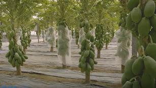 La \'selva\' de papaya en Almería.