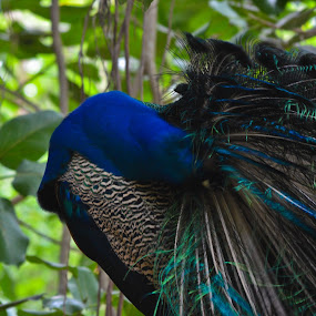 peacock by Avinash Nompi - Uncategorized All Uncategorized