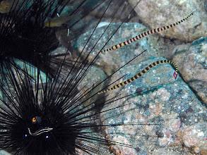 Photo: pipefish attack!