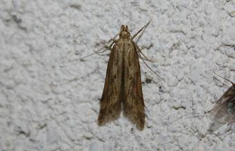 Photo: Metzneria lappella  Lepidoptera > Gelechiidae