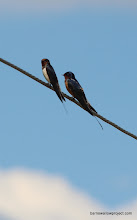 Photo: A Hirundo rustica rustica (left) and H. r. tytleri sit side by side, both sporting new bracelets