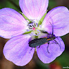 Oedemerid Beetle