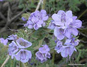 Photo: Phacelia blossom; Anza Borrego Desert State Park