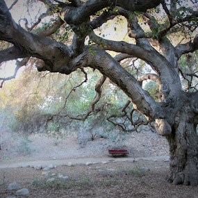 Wishing Tree by Leah N - Nature Up Close Trees & Bushes ( oak tree red bench serene green )