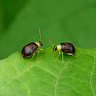Leaf Beetles