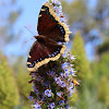 Mourning Cloak Butterfly