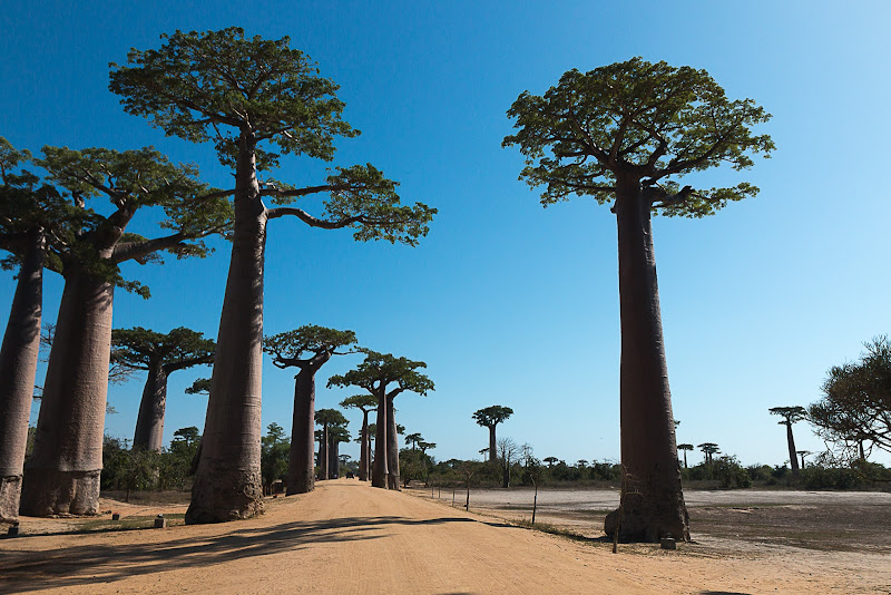 Avenue Baobab di paola_cattini
