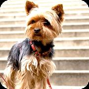 Yorkshire Terrier Background