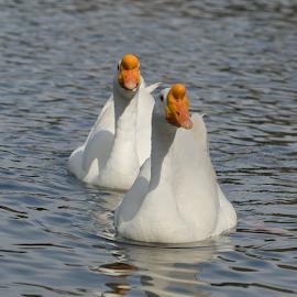 by Fabienne Lawrence - Uncategorized All Uncategorized ( feather, duck, bird, animal, duckling )