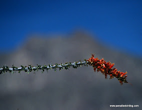 Photo: Ocotillo in bloom; Anza Boreego Desert State Park