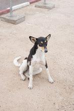 Photo: Essaouira dog posing for me.